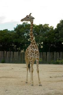 20050821_giraffe.jpg
