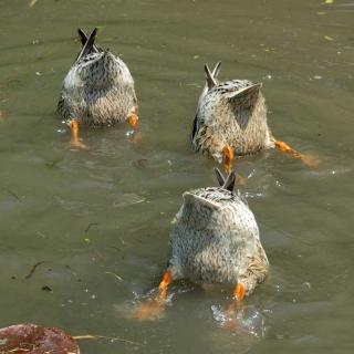 20060514_duck.jpg