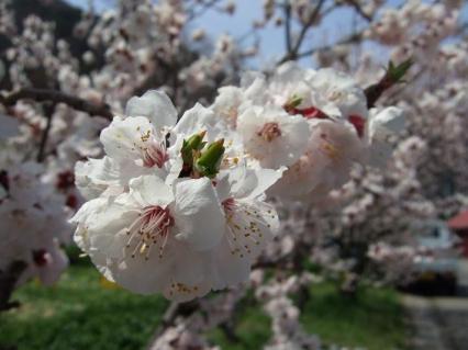 ほとんどがこの色なので桜の花と比べたら地味かも