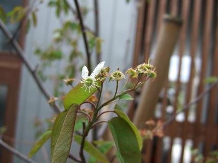 白い花は桜と同じ時期に