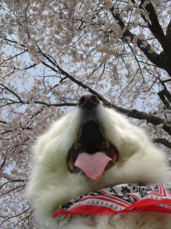 くまも桜ももこもこ