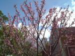 沖縄の桜!