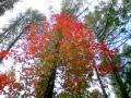 蔦漆の紅葉