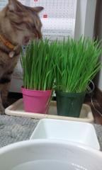 猫草喰うゆず1