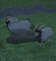 角あり羊ー!