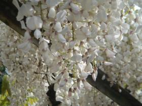 晴れた日の藤の花