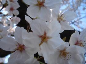 桜正面から