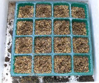 レタス、種まき用土