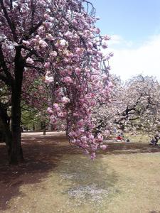 重たそうな桜