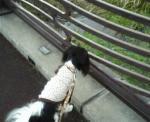 橋上のビビリ犬・・・