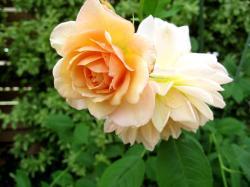 アプリコットカラーのバラ