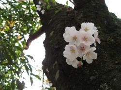 幹に咲く桜