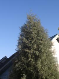 sinboltree.jpg