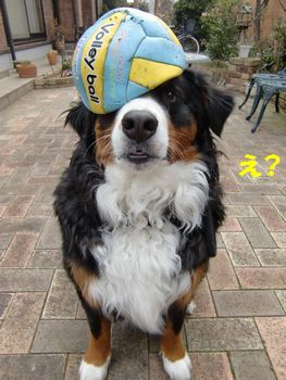 なんで・・?ボールは取りっこするものだよ・・。