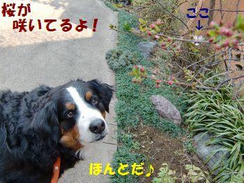 1個だけど桜が咲いたね!!