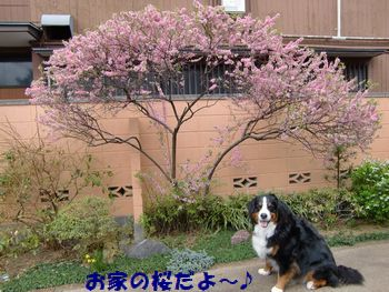 お家の桜と撮ったの♪