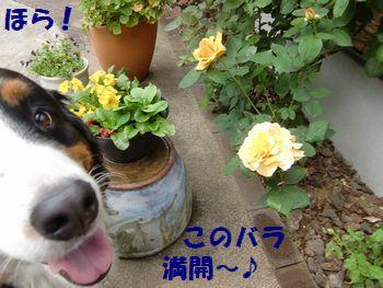 バラが咲いたの~!!これ満開!