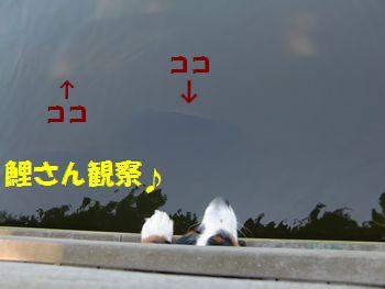 鯉さんも見ちゃうよ~♪