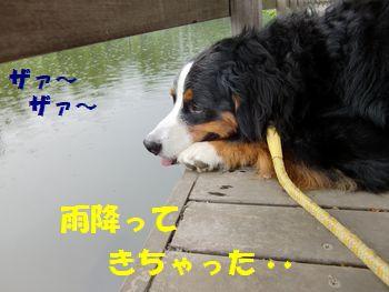 雨がザァ~ザァ~だよ。