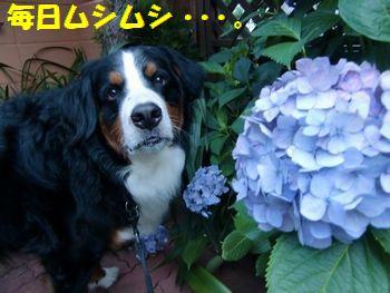 紫陽花と一緒~。