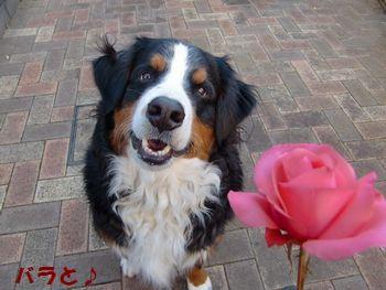 また薔薇とだよ~!