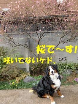 春は桜~!?