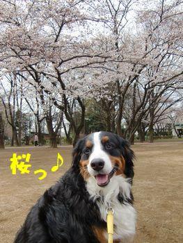 桜と一緒~!!