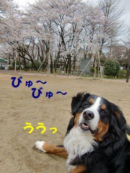 風が強いよ~!!ごぉ~ごぉ~!