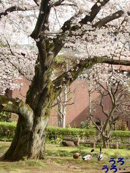 カモさんと桜・・・