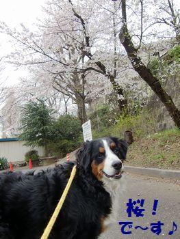 またまた桜ですよ~!