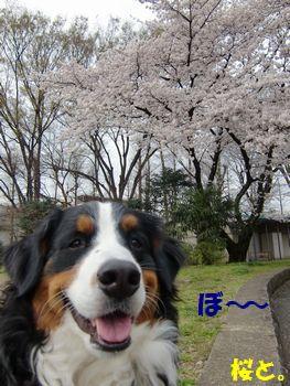 また桜か・・・。