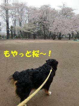 桜ももやもや??