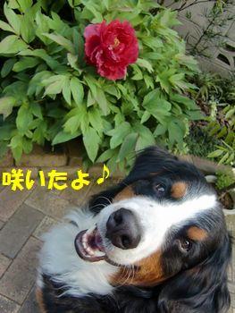咲いたんだよ~!牡丹♪