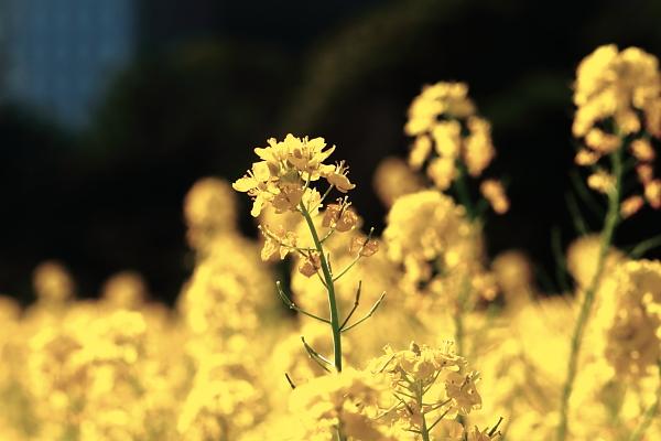 浜離宮 菜の花