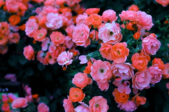 古川 薔薇