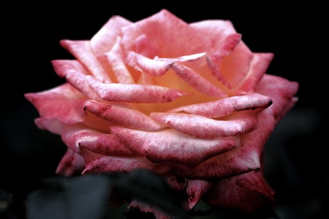 古川 薔薇 4