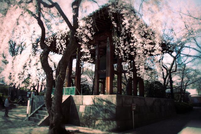 増上寺さくら5.5.6