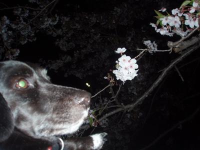 ピコと夜桜