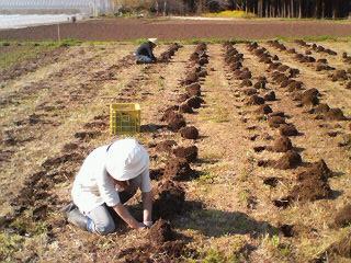 豆芋野大作戦里芋定植