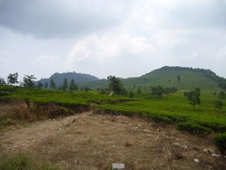 途中一面に広がる茶畑