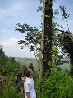サトウヤシに立てかけられた竹のハシゴ
