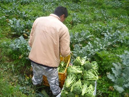 ブロッコリの収穫