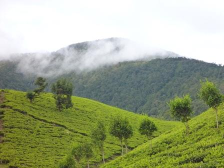 茶畑とチクライ山(表紙)