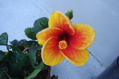 花haibis01