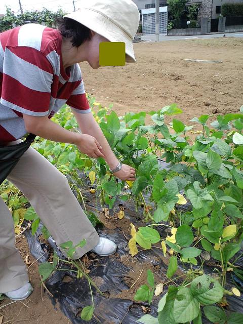 枝豆摘みps