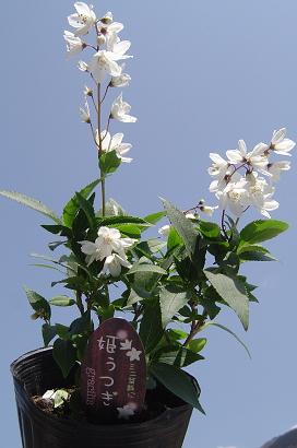 3/31 姫ウツギ