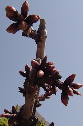 3/31 旭山桜
