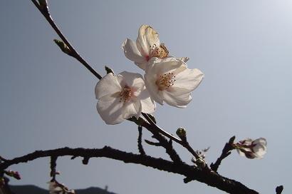 3/31 染井吉野