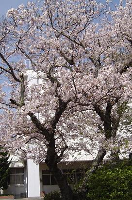 4/5 小学校の桜