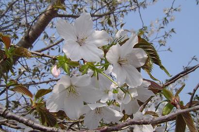 4/8 大寧寺の桜
